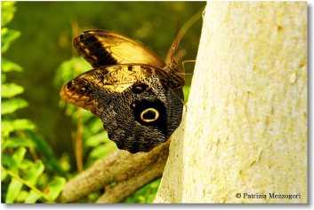 Caligo memnon - Farfalla civetta