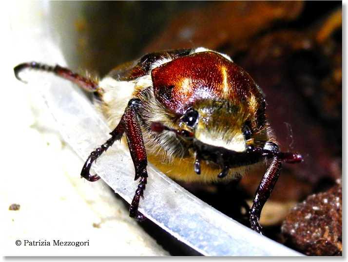 scarabeo 2
